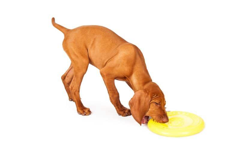 Vizsla Puppy Picking Up Frisbee