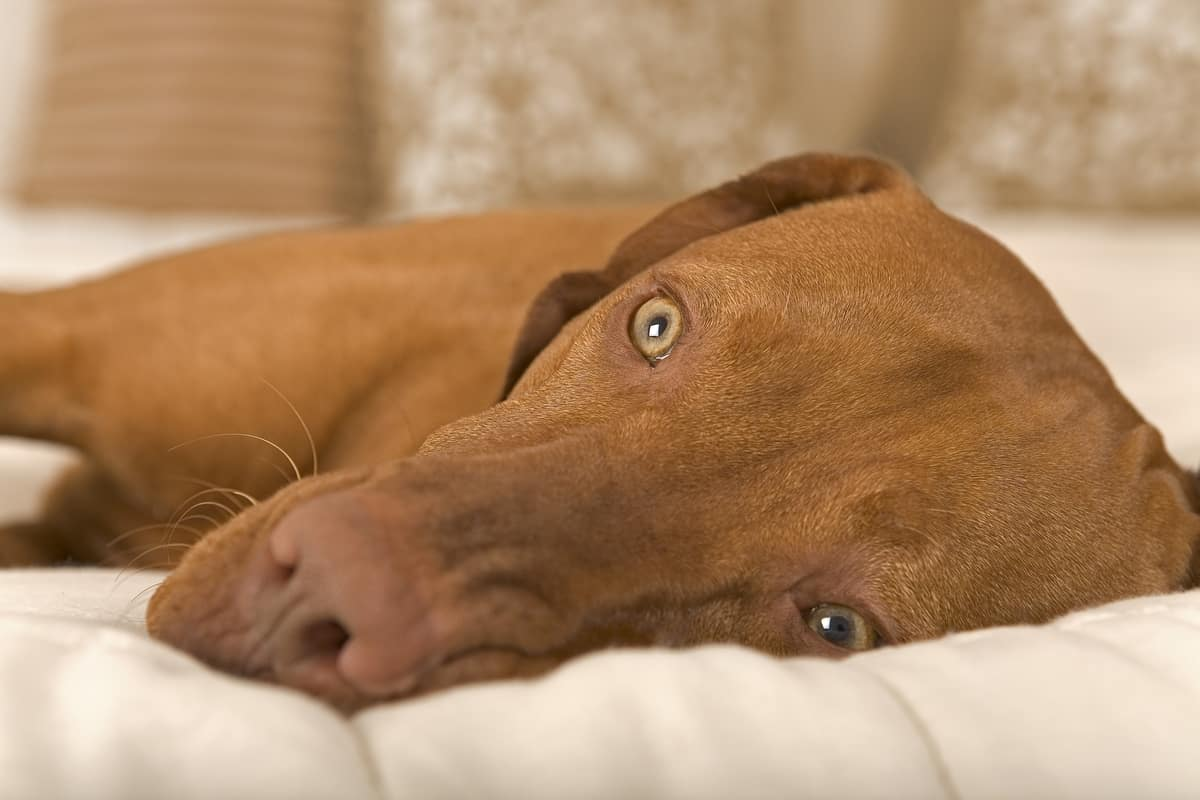 vizsla laying on bed with open eyes.