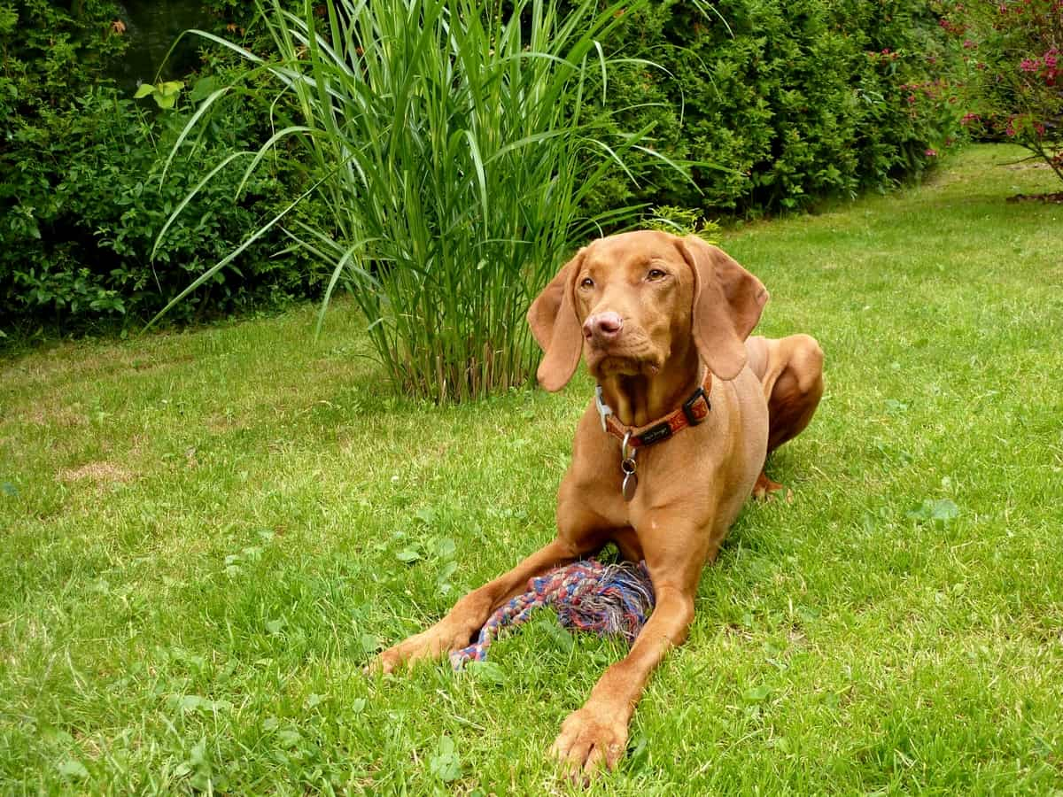 Vizsla dog with tug of war rope toy on grass.
